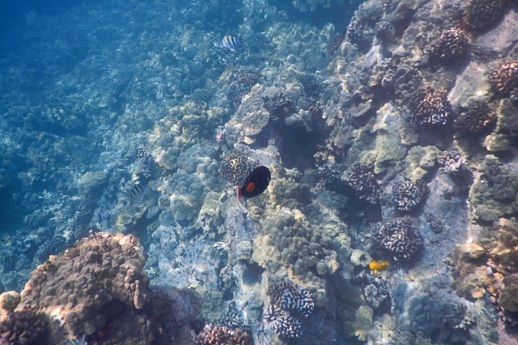 Kealakekua Bay snorkeling on The Big Island of Hawaii
