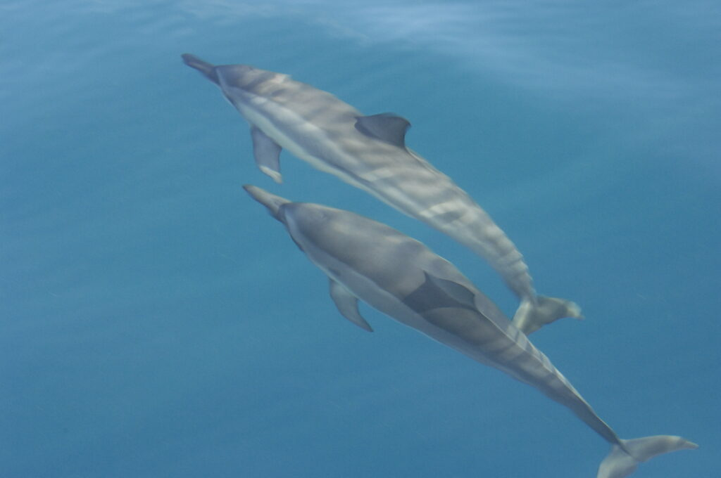 Swimming with 2 dolphins in Hawaii