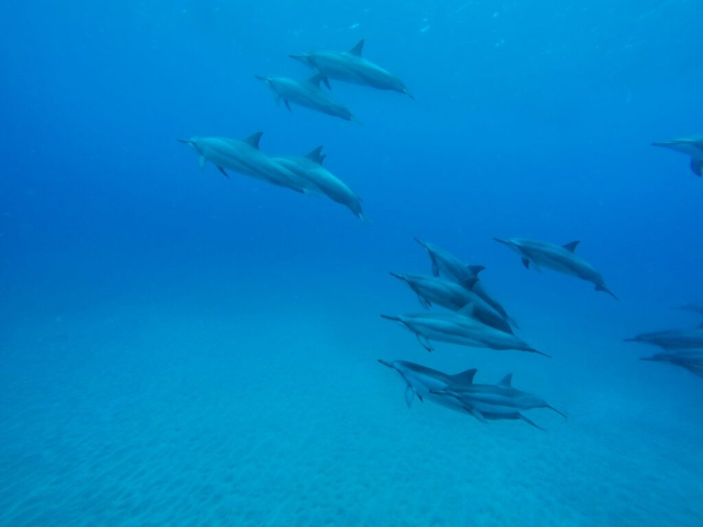 Swim with Hawaiian Spinner Dolphins