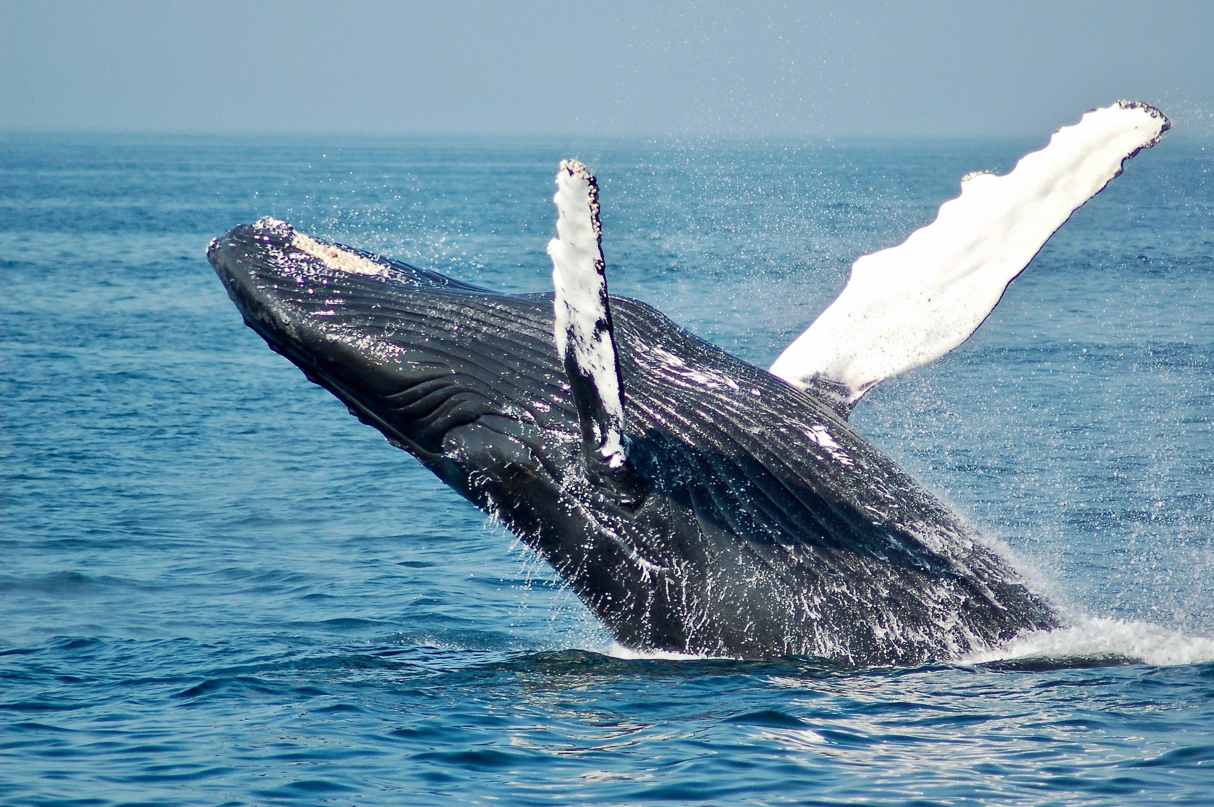 Humpback whale watching in Kona on The Big Island of Hawaii