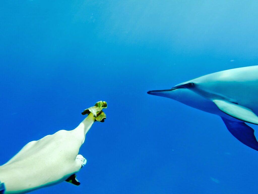 Dolphin swim Kona Hawaii