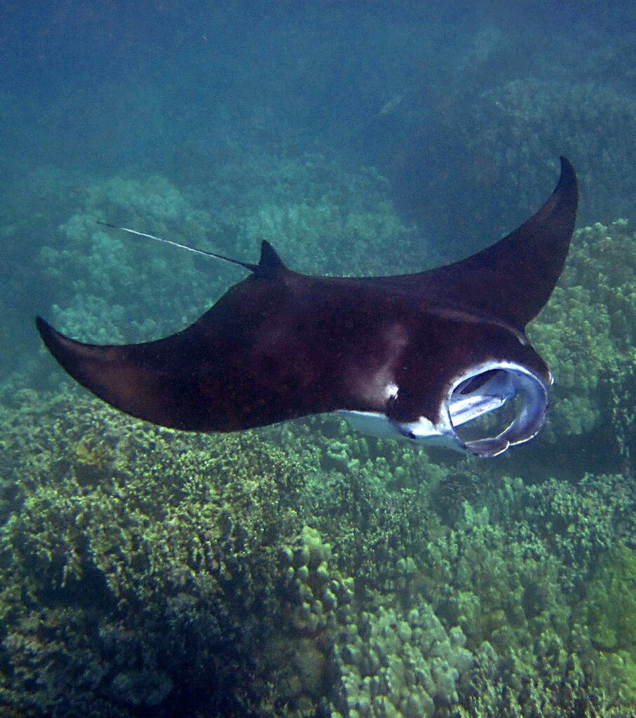 kona-hawaii-manta-ray-snorkel