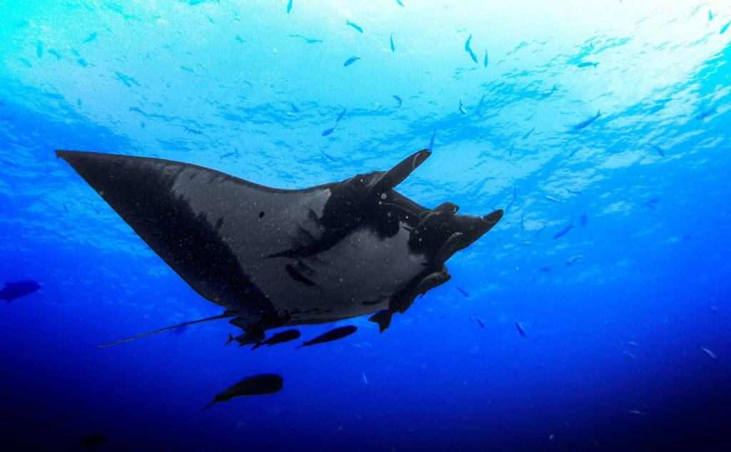 Manta ray night snorkel in Kona, on The Big Island of Hawaii