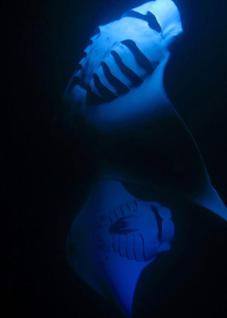 Manta ray at night during snorkel in Kona Hawaii